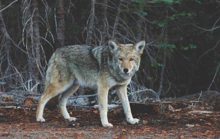 Wolf unsplash
